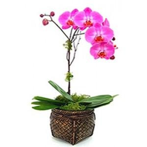 Orchids Phaleanopolis